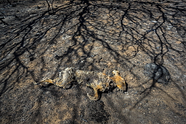 Dead Cape Hare (Lepus capensis) surrounded by the shadows of charred trees, killed by the summer fires, La Pampa Province, Patagonia, Argentina. January 2017.