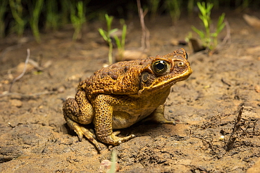 Cane toad (Rhinella marina) sitting on bare soil at night, an introduced and highly destructive pest, Rolleston, Queensland, Australia.