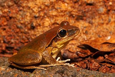 Lesuers frog (Littoria lesueurii) sitting on rock, Girraween National Park, Stanthorpe, Queensland, Australia.