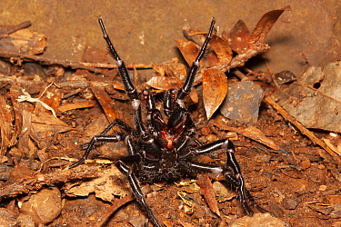 Sydney funnel web spider (Atrax robustus) highly venomous spider, male with fangs and forelegs raised in strike pose, Sydney, New South Wales, Australia.