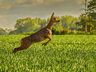 RF - Roe Deer (Capreolus capreolus) doe leaping, UK, May. (This image may be licensed either as rights managed or royalty free.).