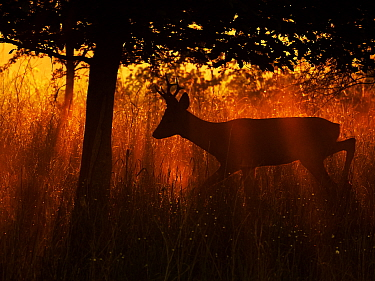 RF - Roe Deer (Capreolus capreolus) buck in morning light, UK, May. (This image may be licensed either as rights managed or royalty free).
