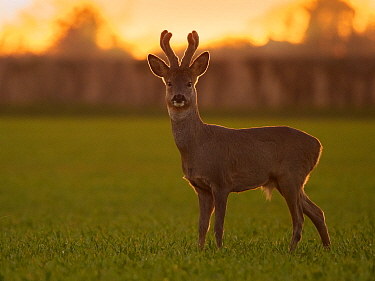RF - Roe Deer (Capreolus capreolus) buck in early spring, March, UK. (This image may be licensed either as rights managed or royalty free.)
