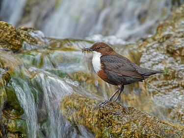 RF - Dipper (Cinclus cinclus) perched on rock in river with food in bill, Wales, UK, May. (This image may be licensed either as rights managed or royalty free.).