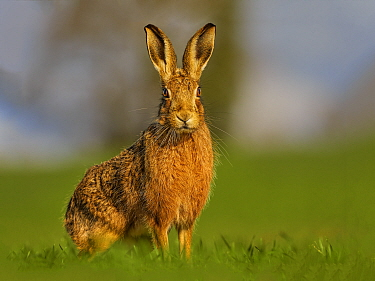 RF - European Hare (Lepus europaeus) in morning light, UK. (This image may be licensed either as rights managed or royalty free.)