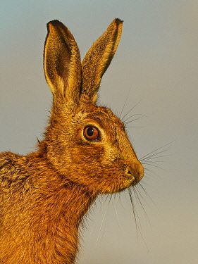 RF - European Hare (Lepus europaeus) close-up in morning light, UK. (This image may be licensed either as rights managed or royalty free.)