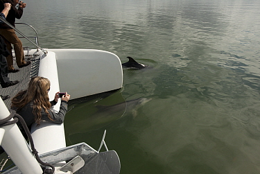Bottlenose Dolphin (Tursiops truncatus) approaching a catamaran, with woman taking photograph on her phone, Sado Estuary, Portugal