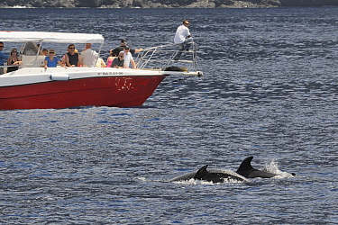 Two Bottlenose dolphins (Tursiops truncatus) surfacing near tourists on Dolphin and Whale watching trip, Tenerife, May.