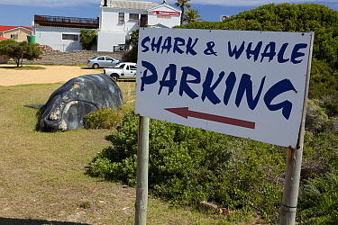 Car park for shark and whale watching with model southern right whale (Eubalaena australis), Kleinbaai, South Africa, December.