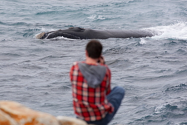 Southern right whale (Eubalaena australis) near coastline with photographer/tourist in foreground, Hermanus, South Africa, November.