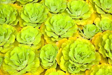Water lettuce (Pistia stratiotes), Borneo, Malaysia