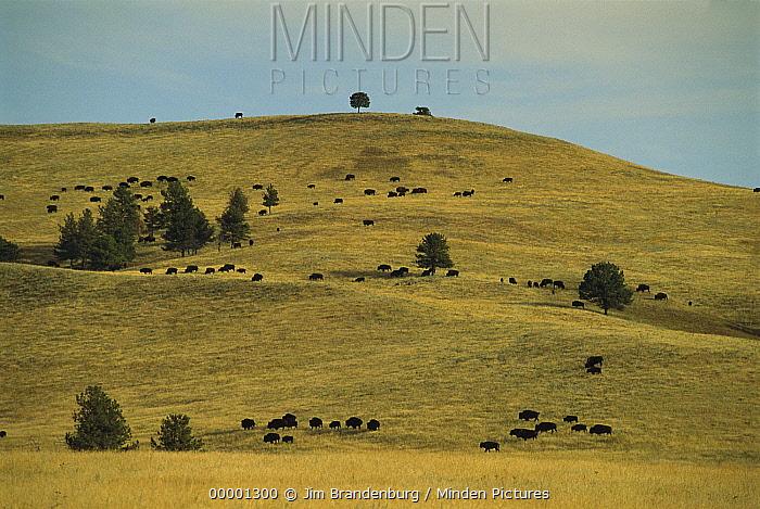 American Bison (Bison bison) herd on dry grass prairie dotted with Ponderosa Pines (Pinus ponderosa), Wind Cave National Park, South Dakota  -  Jim Brandenburg