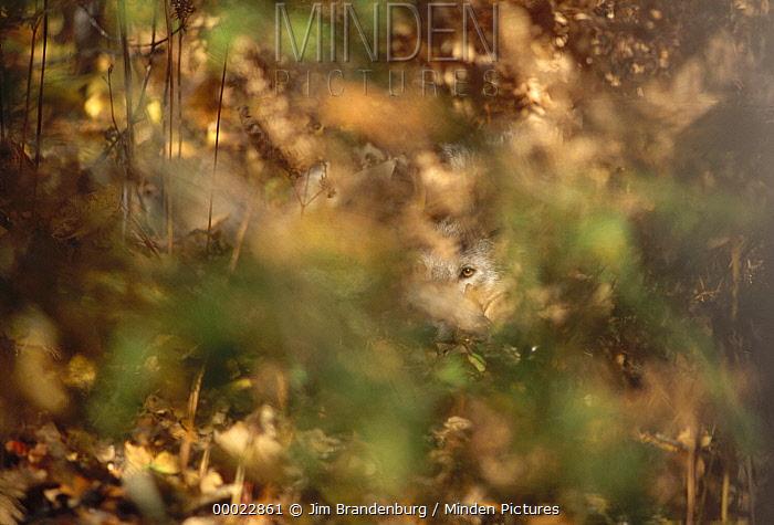 Timber Wolf (Canis lupus) looking through foliage, Superior National Forest, Minnesota  -  Jim Brandenburg