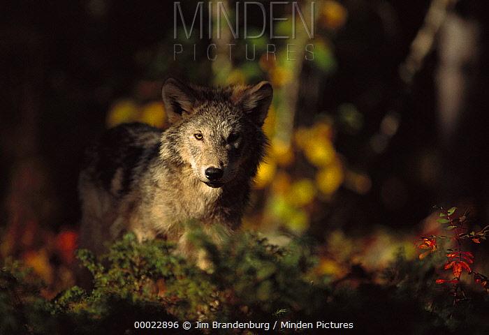 Timber Wolf (Canis lupus) illuminated in forest, Minnesota  -  Jim Brandenburg