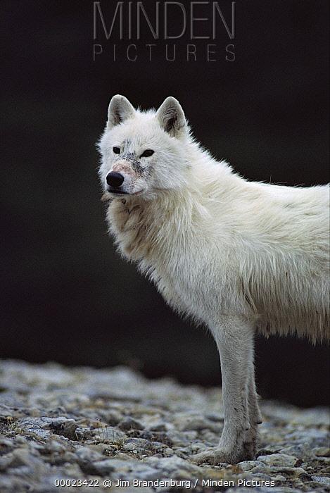 Arctic Wolf (Canis lupus) alpha male named Buster near den site, Ellesmere Island, Nunavut, Canada  -  Jim Brandenburg
