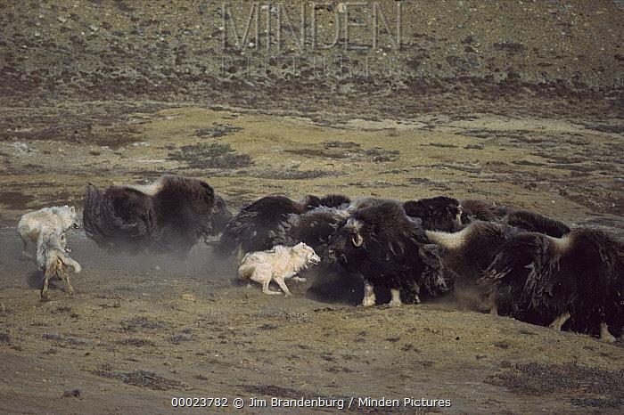 Arctic Wolf (Canis lupus) pack attacking Muskox (Ovibos moschatus) herd, Ellesmere Island, Nunavut, Canada  -  Jim Brandenburg
