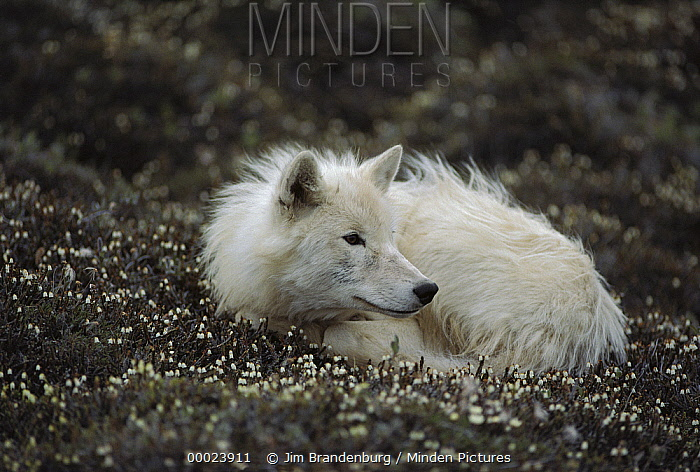 Arctic Wolf (Canis lupus) juvenile male named Scruffy curled up on flowering tundra, Ellesmere Island, Nunavut, Canada  -  Jim Brandenburg