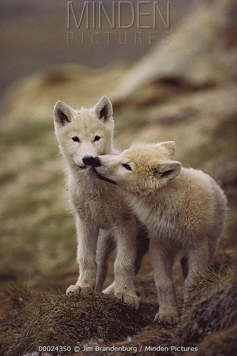 Arctic Wolf (Canis lupus) pups nuzzling one another, Ellesmere Island, Nunavut, Canada  -  Jim Brandenburg