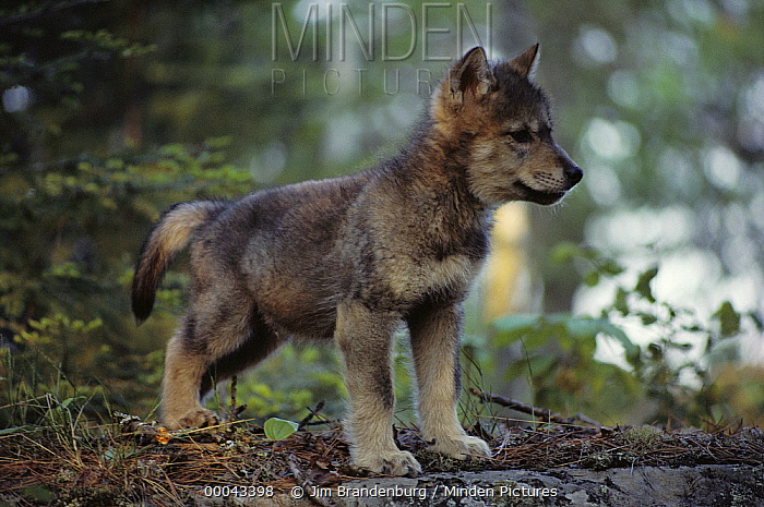 Timber Wolf (Canis lupus) pup in forest, Minnesota  -  Jim Brandenburg