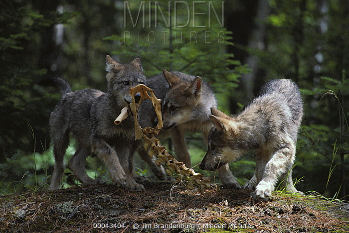 Timber Wolf (Canis lupus) pups playing with bones, Minnesota  -  Jim Brandenburg