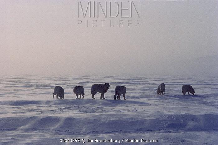 Arctic Wolf (Canis lupus) pack of six on wind-swept ice, Ellesmere Island, Nunavut, Canada  -  Jim Brandenburg