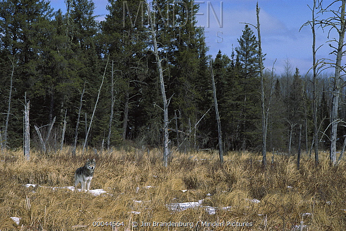 Timber Wolf (Canis lupus) standing in open field with snow, North America  -  Jim Brandenburg