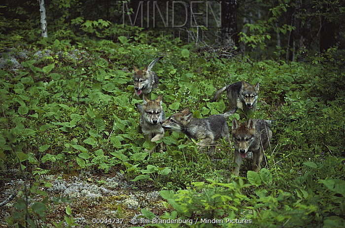 Timber Wolf (Canis lupus) five pups in forest, Minnesota  -  Jim Brandenburg