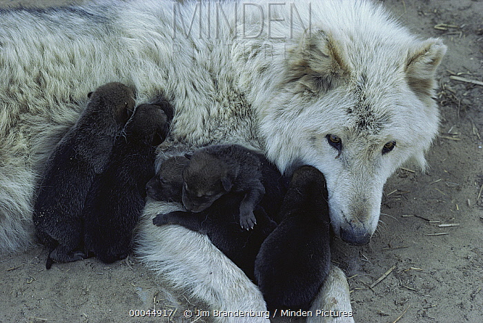 Timber Wolf (Canis lupus) white-phase mother with newborn pups, Minnesota  -  Jim Brandenburg