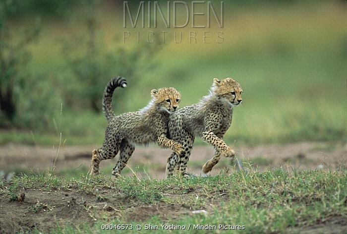 Cheetah (Acinonyx jubatus) pair of cubs running, Kenya  -  Shin Yoshino