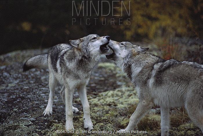 Timber Wolf (Canis lupus) pair greeting each other, Minnesota  -  Jim Brandenburg