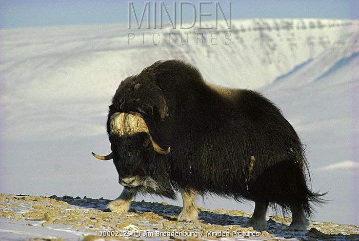 Muskox (Ovibos moschatus) on snowy rocks, Ellesmere Island, Nunavut, Canada  -  Jim Brandenburg