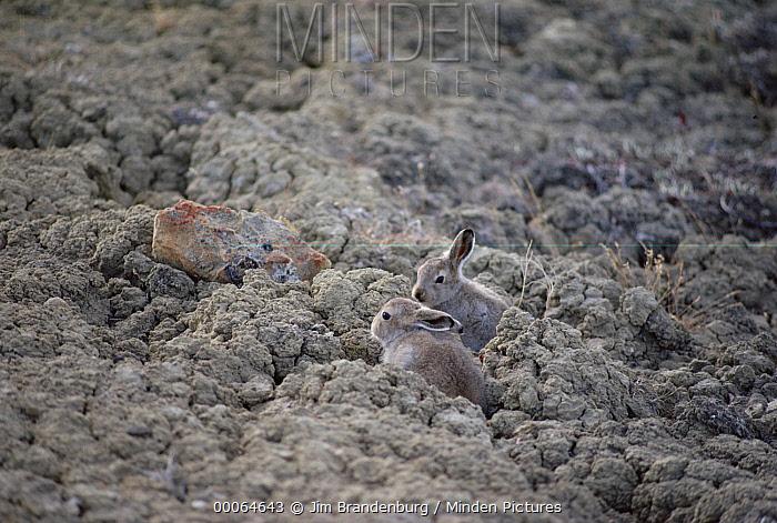 Arctic Hare (Lepus arcticus) young in summer coats camouflaged against tundra, Ellesmere Island, Nunavut, Canada  -  Jim Brandenburg
