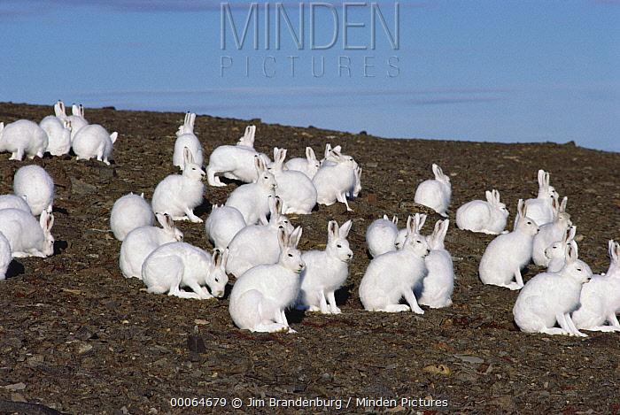 Arctic Hare (Lepus arcticus) group on tundra, Ellesmere Island, Nunavut, Canada  -  Jim Brandenburg