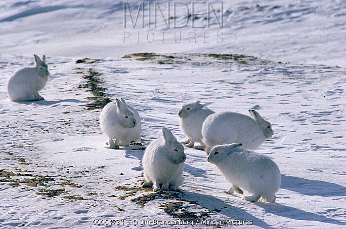 Arctic Hare (Lepus arcticus) group camouflaged on snow, Ellesmere Island, Nunavut, Canada  -  Jim Brandenburg
