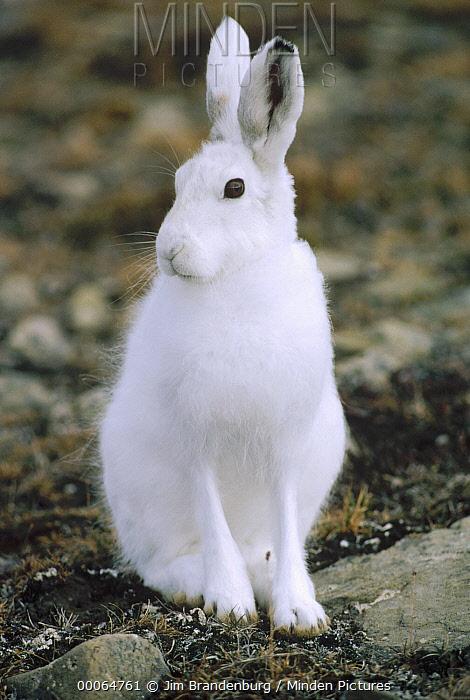 Arctic Hare (Lepus arcticus) portrait, Ellesmere Island, Nunavut, Canada  -  Jim Brandenburg
