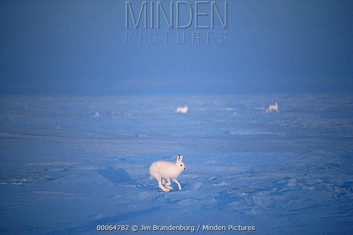 Arctic Hare (Lepus arcticus) trio running, Ellesmere Island, Nunavut, Canada  -  Jim Brandenburg