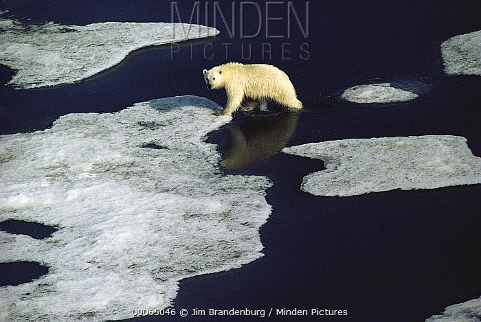 Polar Bear (Ursus maritimus) walking on ice floe, Ellesmere Island, Nunavut, Canada  -  Jim Brandenburg