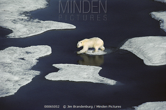 Polar Bear (Ursus maritimus) walking across ice floes, Ellesmere Island, Nunavut, Canada  -  Jim Brandenburg