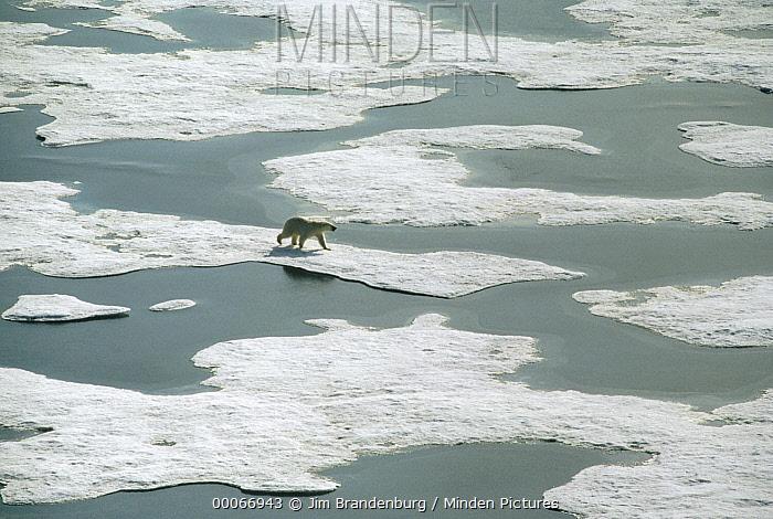 Polar Bear (Ursus maritimus) crossing icefield during spring thaw, Ellesmere Island, Nunavut, Canada  -  Jim Brandenburg