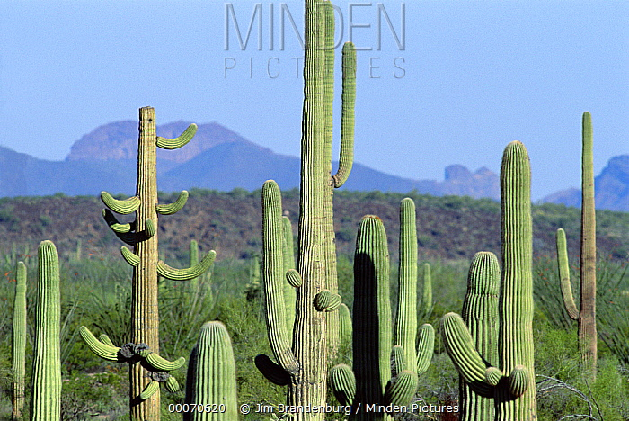 Saguaro (Carnegiea gigantea) cactus field, Organ Pipe Cactus National Monument, Arizona  -  Jim Brandenburg