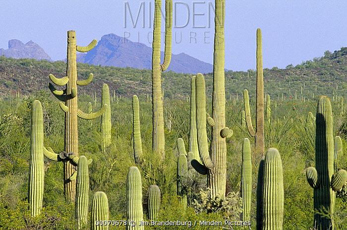 Saguaro (Carnegiea gigantea) cactus field, Organ Pipe Cactus National Monument, Arizona  -  Jim Brandenburg