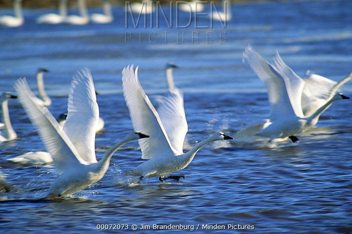 Tundra Swan (Cygnus columbianus) flock taking off from lake, Mattamuskeet National Wildlife Reserve, North Carolina  -  Jim Brandenburg