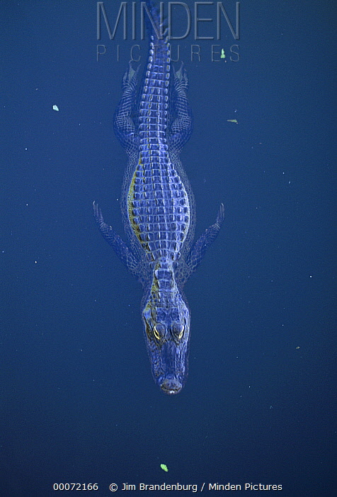 American Alligator (Alligator mississippiensis) floating at water surface, Everglades National Park, Florida  -  Jim Brandenburg
