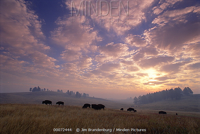 American Bison (Bison bison) herd grazing on prairie at sunset, South Dakota  -  Jim Brandenburg
