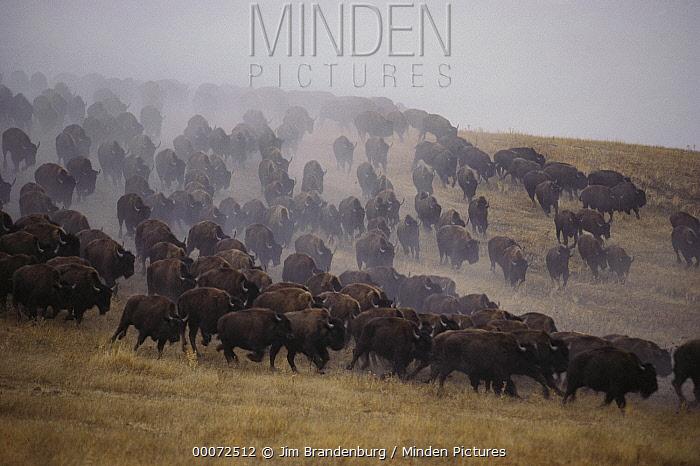 American Bison (Bison bison) herd stampeding, South Dakota