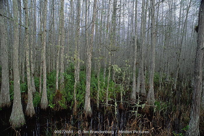 Bald Cypress (Taxodium distichum) trees in Corkscrew Swamp, Everglades National Park, Florida  -  Jim Brandenburg