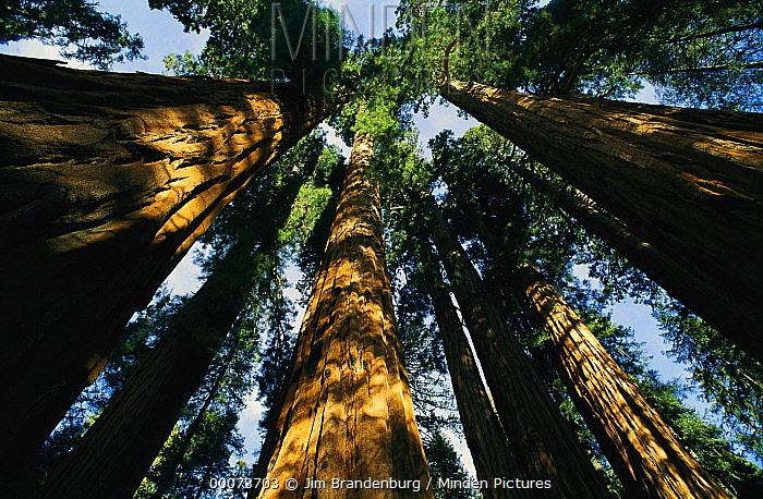 Giant Sequoia (Sequoiadendron giganteum) forest, King's Canyon National Park, California