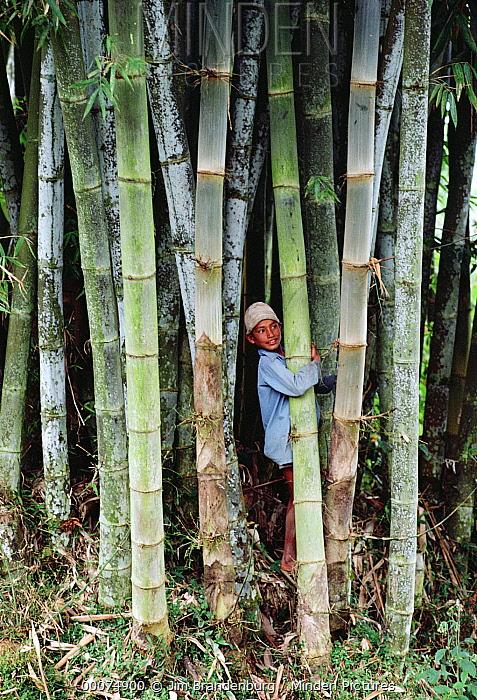 Bamboo (Dendrocalamus sp) forest with boy, Nepal  -  Jim Brandenburg