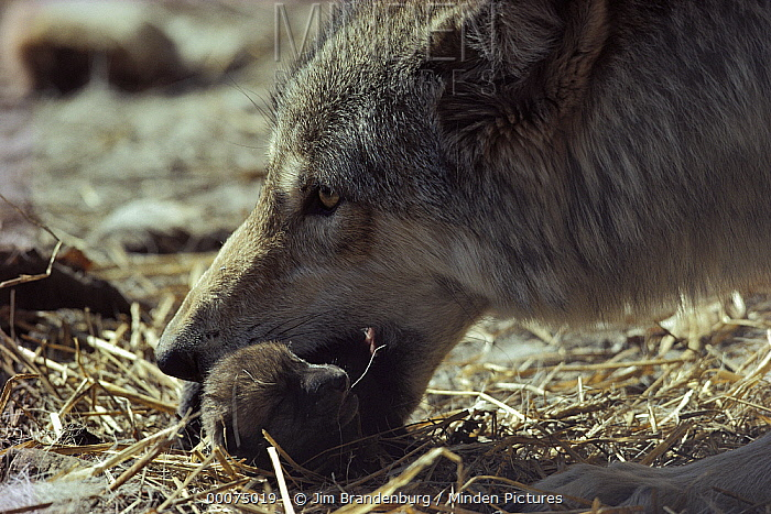 Timber Wolf (Canis lupus) mother picking up pup in her mouth to carry, Minnesota  -  Jim Brandenburg