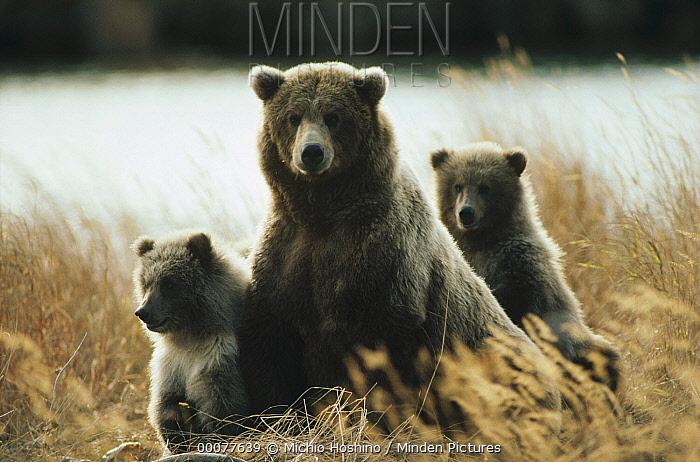 Grizzly Bear (Ursus arctos horribilis) mother and cubs in autumn grass, Alaska  -  Michio Hoshino